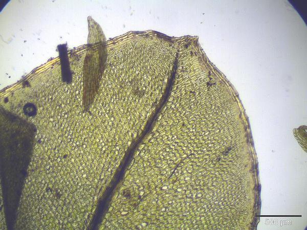 Grandleaf Rhizomnium Moss (Rhizomnium Magnifolium) http://www.sagebud.com/grandleaf-rhizomnium-moss-rhizomnium-magnifolium/