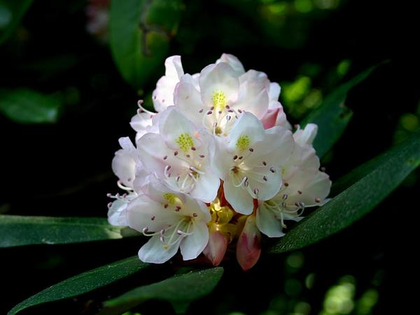 Great Laurel (Rhododendron Maximum) http://www.sagebud.com/great-laurel-rhododendron-maximum