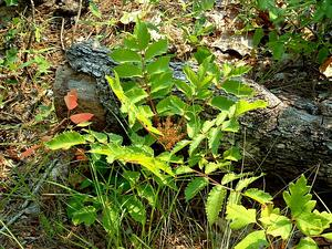 False Poison Sumac
