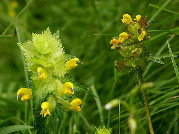 Little Yellow Rattle (Rhinanthus Minor) http://www.sagebud.com/little-yellow-rattle-rhinanthus-minor