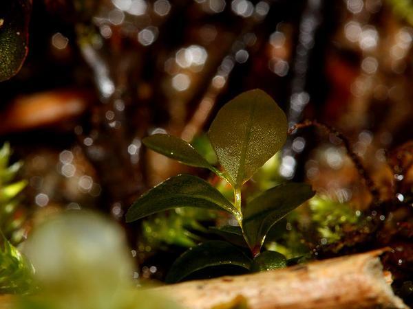 Naked Rhizomnium Moss (Rhizomnium Nudum) http://www.sagebud.com/naked-rhizomnium-moss-rhizomnium-nudum