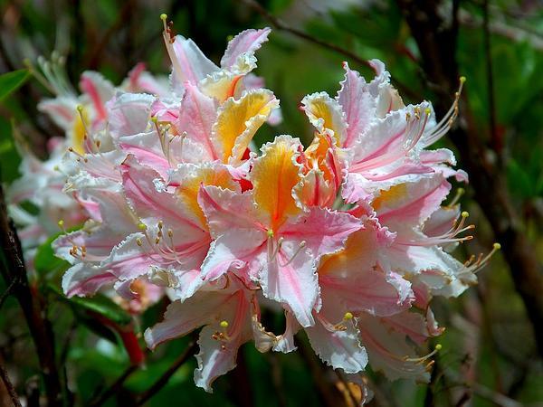 Western Azalea (Rhododendron Occidentale) http://www.sagebud.com/western-azalea-rhododendron-occidentale