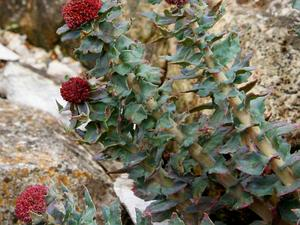 RHODI/Rhodiola_heterodonta_300.jpg