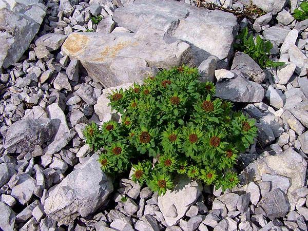 Stonecrop (Rhodiola) http://www.sagebud.com/stonecrop-rhodiola/