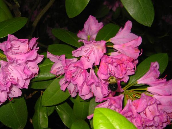 Rhododendron (Rhododendron) http://www.sagebud.com/rhododendron-rhododendron