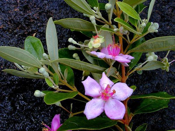 Rhodomyrtus (Rhodomyrtus) http://www.sagebud.com/rhodomyrtus-rhodomyrtus