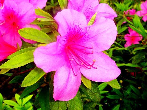 Pink Azalea (Rhododendron Periclymenoides) http://www.sagebud.com/pink-azalea-rhododendron-periclymenoides/