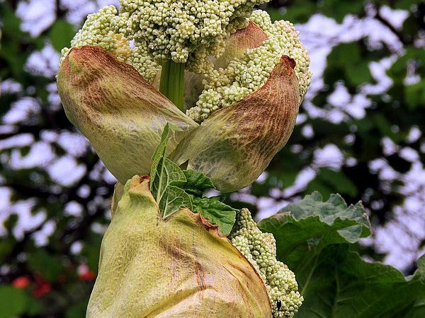 Garden Rhubarb (Rheum Rhabarbarum) http://www.sagebud.com/garden-rhubarb-rheum-rhabarbarum