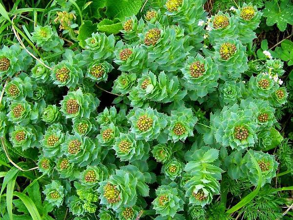 Roseroot Stonecrop (Rhodiola Rosea) http://www.sagebud.com/roseroot-stonecrop-rhodiola-rosea