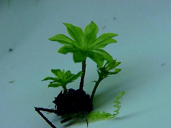 Rose Rhodobryum Moss (Rhodobryum Roseum) http://www.sagebud.com/rose-rhodobryum-moss-rhodobryum-roseum/