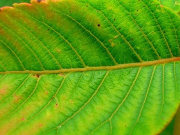 Neneleau (Rhus Sandwicensis) http://www.sagebud.com/neneleau-rhus-sandwicensis