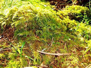 Square Goose Neck Moss