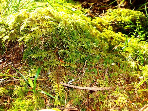 Square Goose Neck Moss (Rhytidiadelphus Squarrosus) http://www.sagebud.com/square-goose-neck-moss-rhytidiadelphus-squarrosus
