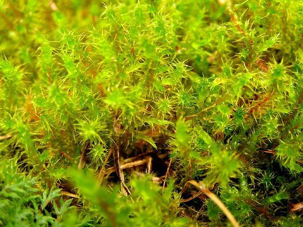 Square Goose Neck Moss (Rhytidiadelphus Squarrosus) http://www.sagebud.com/square-goose-neck-moss-rhytidiadelphus-squarrosus/