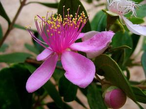 Rose Myrtle