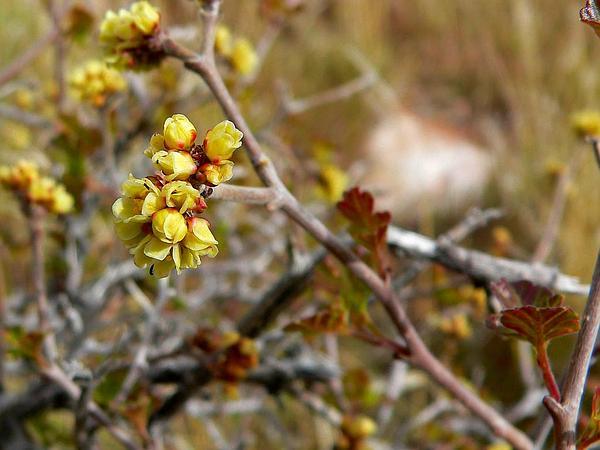 Skunkbush Sumac (Rhus Trilobata) http://www.sagebud.com/skunkbush-sumac-rhus-trilobata/