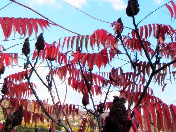 Staghorn Sumac (Rhus Typhina) http://www.sagebud.com/staghorn-sumac-rhus-typhina