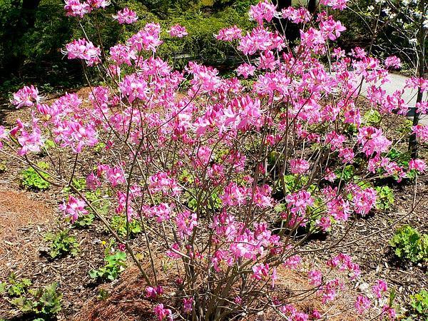 Pinkshell Azalea (Rhododendron Vaseyi) http://www.sagebud.com/pinkshell-azalea-rhododendron-vaseyi/