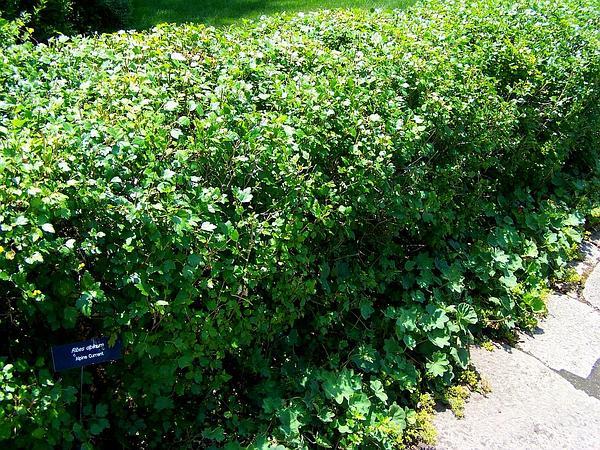 Alpine Currant (Ribes Alpinum) http://www.sagebud.com/alpine-currant-ribes-alpinum