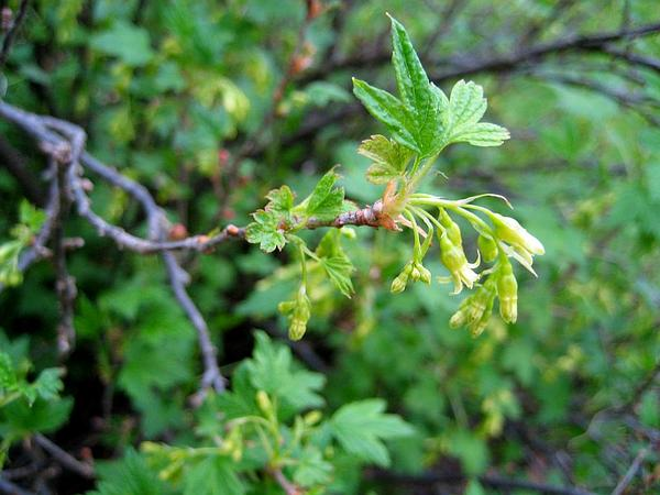 American Black Currant (Ribes Americanum) http://www.sagebud.com/american-black-currant-ribes-americanum