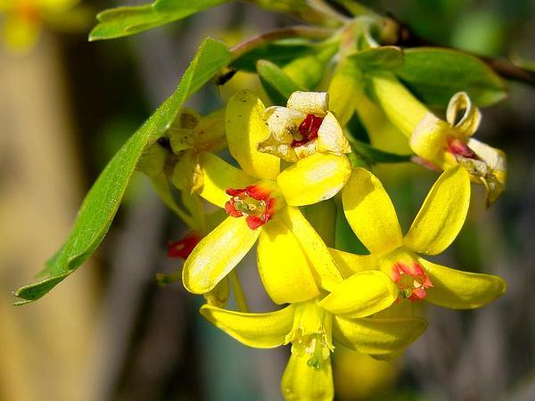 Golden Currant (Ribes Aureum) http://www.sagebud.com/golden-currant-ribes-aureum