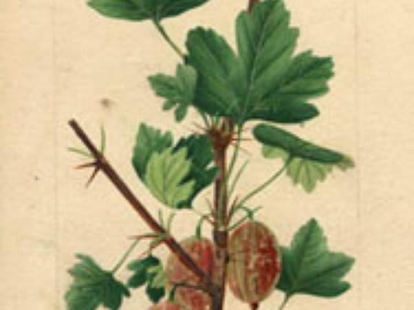 Currant (Ribes) http://www.sagebud.com/currant-ribes