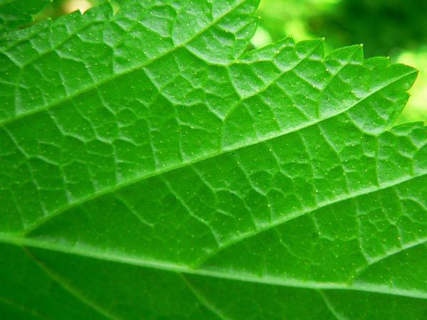 Stink Currant (Ribes Bracteosum) http://www.sagebud.com/stink-currant-ribes-bracteosum