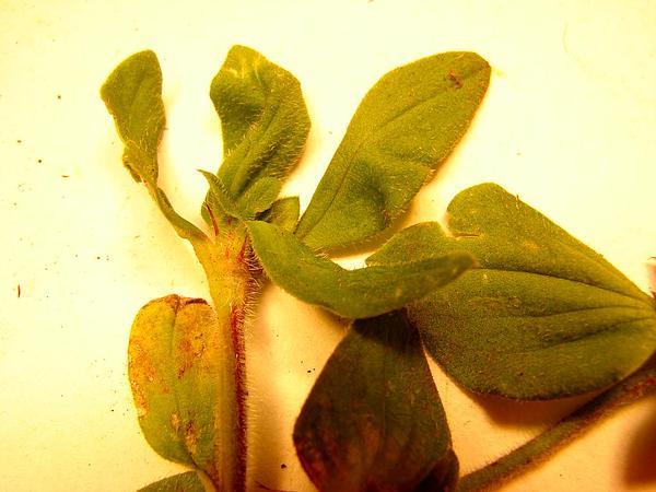 Tropical Mexican Clover (Richardia Brasiliensis) http://www.sagebud.com/tropical-mexican-clover-richardia-brasiliensis/