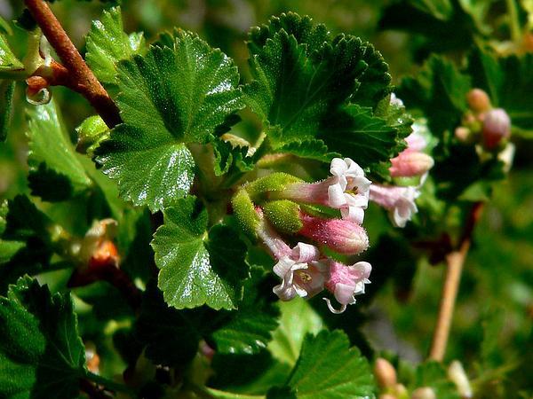 Wax Currant (Ribes Cereum) http://www.sagebud.com/wax-currant-ribes-cereum