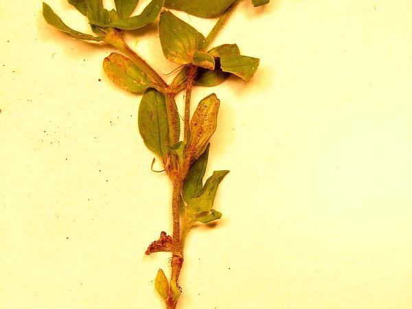 Mexican Clover (Richardia) http://www.sagebud.com/mexican-clover-richardia/