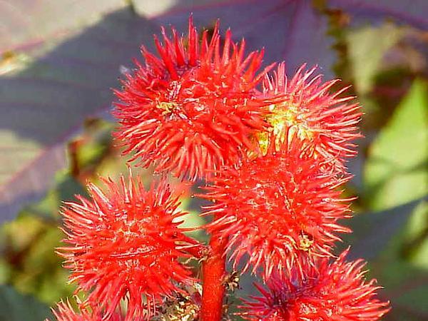 Ricinus (Ricinus) http://www.sagebud.com/ricinus-ricinus/