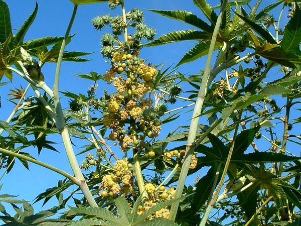 Castorbean (Ricinus Communis) http://www.sagebud.com/castorbean-ricinus-communis