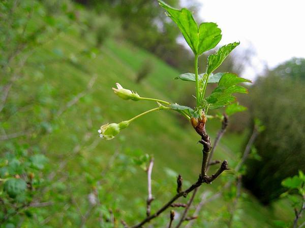 Eastern Prickly Gooseberry (Ribes Cynosbati) http://www.sagebud.com/eastern-prickly-gooseberry-ribes-cynosbati/
