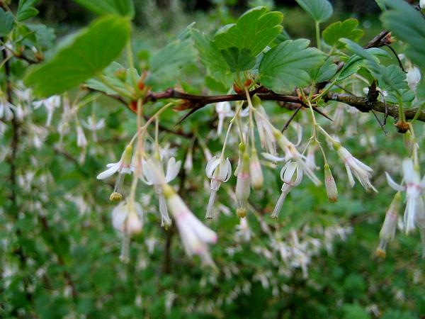 Spreading Gooseberry (Ribes Divaricatum)