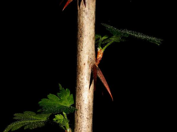 Spreading Gooseberry (Ribes Divaricatum) http://www.sagebud.com/spreading-gooseberry-ribes-divaricatum