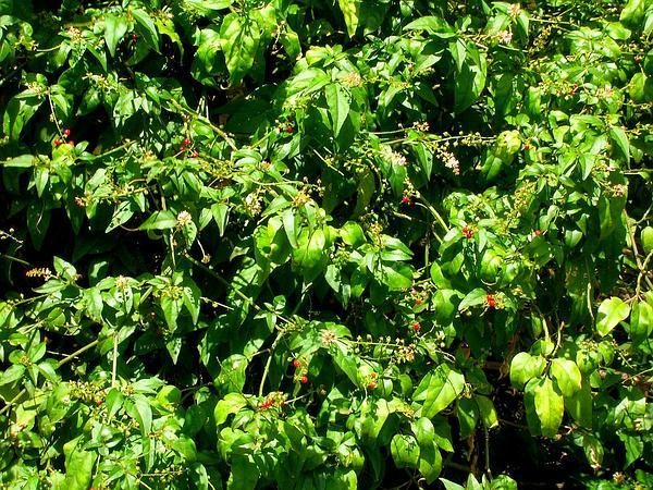 Rougeplant (Rivina Humilis) http://www.sagebud.com/rougeplant-rivina-humilis/