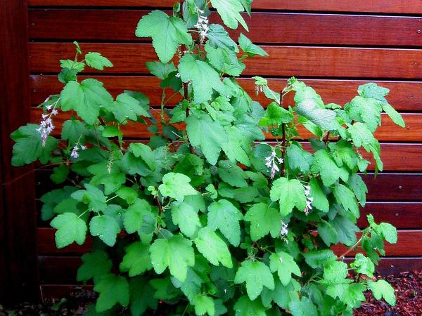 Chaparral Currant (Ribes Malvaceum) http://www.sagebud.com/chaparral-currant-ribes-malvaceum