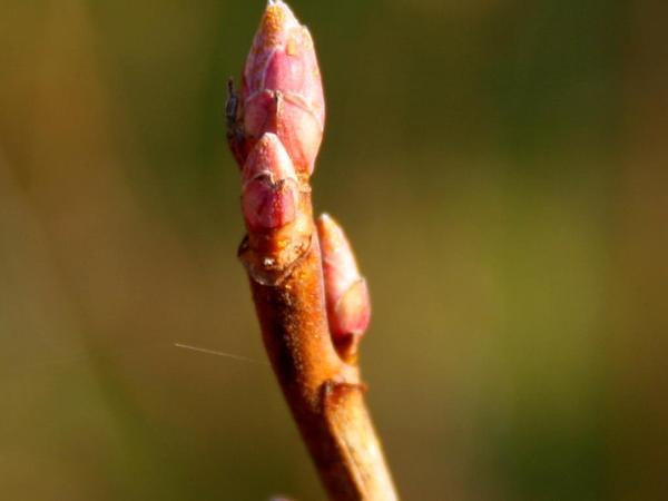 European Black Currant (Ribes Nigrum) http://www.sagebud.com/european-black-currant-ribes-nigrum