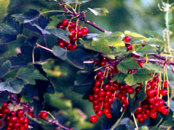 Cultivated Currant (Ribes Rubrum) http://www.sagebud.com/cultivated-currant-ribes-rubrum