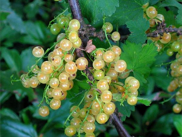 Cultivated Currant (Ribes Rubrum) http://www.sagebud.com/cultivated-currant-ribes-rubrum/