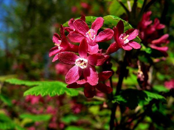 Redflower Currant (Ribes Sanguineum) http://www.sagebud.com/redflower-currant-ribes-sanguineum