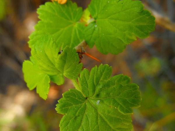 Santa Cruz Gooseberry (Ribes Thacherianum) http://www.sagebud.com/santa-cruz-gooseberry-ribes-thacherianum