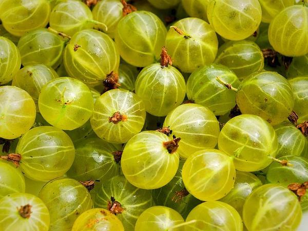 European Gooseberry (Ribes Uva-Crispa) http://www.sagebud.com/european-gooseberry-ribes-uva-crispa