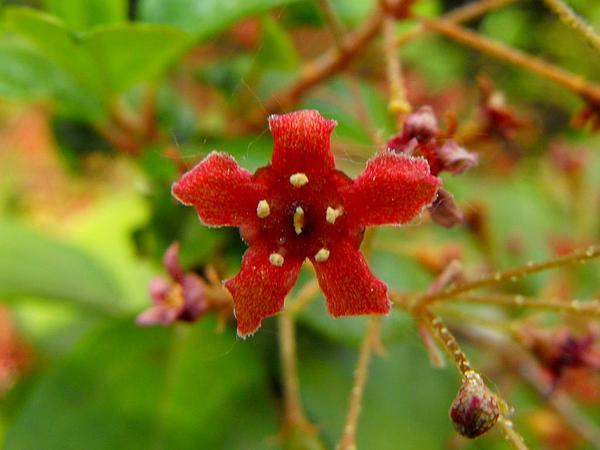 Island Gooseberry (Ribes Viburnifolium) http://www.sagebud.com/island-gooseberry-ribes-viburnifolium/