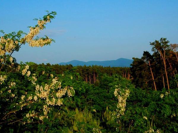 Locust (Robinia) http://www.sagebud.com/locust-robinia