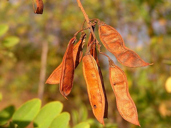 Locust (Robinia) http://www.sagebud.com/locust-robinia/