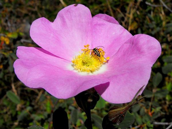 California Wildrose (Rosa Californica) http://www.sagebud.com/california-wildrose-rosa-californica
