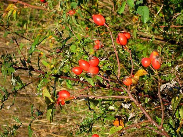 Dog Rose (Rosa Canina) http://www.sagebud.com/dog-rose-rosa-canina