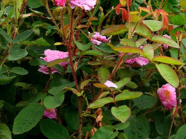 Cabbage Rose (Rosa Centifolia) http://www.sagebud.com/cabbage-rose-rosa-centifolia