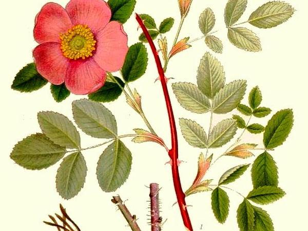 Cinnamon Rose (Rosa Cinnamomea) http://www.sagebud.com/cinnamon-rose-rosa-cinnamomea